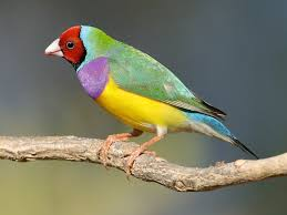 price of gouldian finch